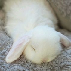 Fluffy white bunny sleeping -- could this be any cuter! - Please don't breed or buy while shelter animals die. Check out rescue groups or your local shelter for your next furry family member. You'll be saving a life. Cute Baby Bunnies, Funny Bunnies, Cute Babies, White Bunnies, White Rabbits, Buy A Bunny, Box Bunny, Rabbit Treats, Fluffy Bunny
