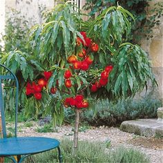 Vente de pêchers, nectariniers Nectarella ® en ligne issus de nos productions d'arbres fruitiers Georges Delbard. Découvrez la fiche technique et nos conseils de plantation et de culture.