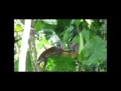 os macaquinhos