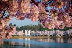 5 things you need to know about the national cherry blossom festival