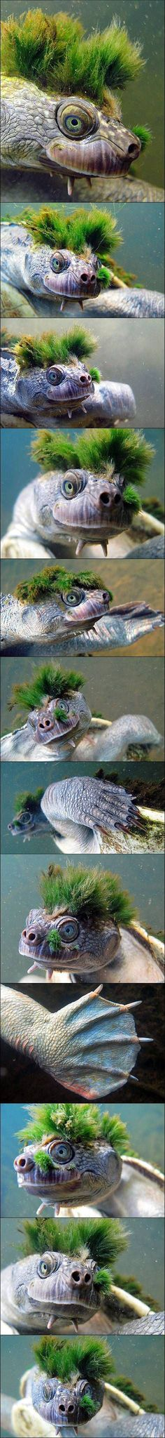 The Mary River turtle, Elusor macrurus, is an endangered short-necked turtle that inhabits the Mary River in south-east Queensland, Australia.  This Mary River turtle has algae growing on its head, but it doesn't seem to mind. In fact, the algae might be beneficial and provide some form of camouflage to avoid predators.