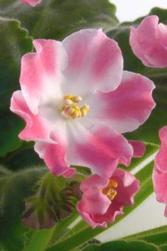 African Violet: Saintpaulia 'Party Time' [Family: Gesnariaceae]