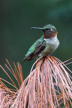 Hummingbird sitting on a branch of a pine tree