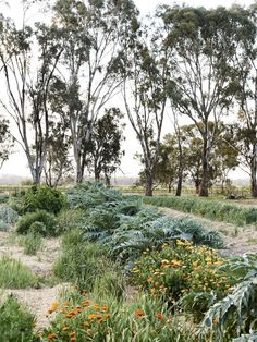 An avenue of Eucalyptus trees provide a beautiful backdrop to the neatly ordered plantings on the farm. Photo – Eve Wilson for The Design Files.