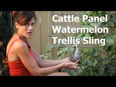 Cattle panel watermelon trellis -how to make a quick, simple, and inexpensive support for your vertical watermelon.  Anyone can do this!