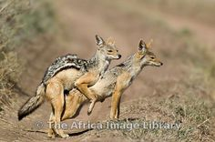 jackal mating