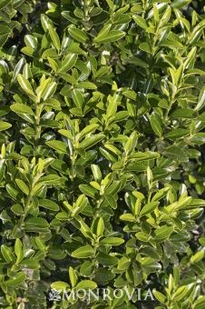 Monrovia's Boxleaf Euonymus details and information. Learn more about Monrovia plants and best practices for best possible plant performance.