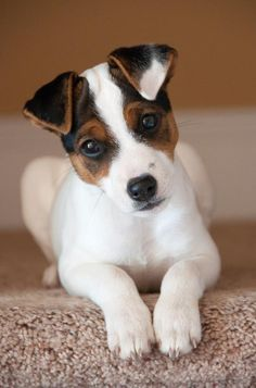 Jack Russell Terrier #Dogs #Puppy