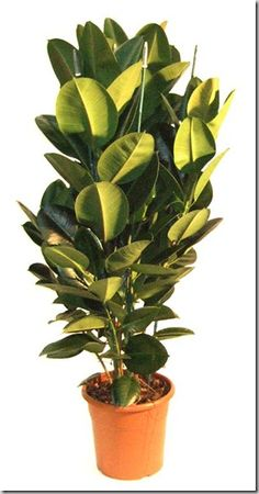 American Rubber Plant Additional Common Names: Pepper Face, Baby Rubber Plant  Scientific Name: Peperomia obtusifolia  Family: Pipericeae  Toxicity: Non-Toxic to Dogs, Non-Toxic to Cats