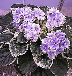 African Violet MAs Winter Moon | eBay Ma's Winter Moon (9394) O. Robinson:  Double medium blue star/wide white edge, variable gray-green tips.  Variegated light-medium green and white, heart-shaped.  Standard.