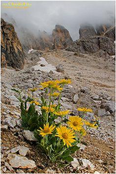 Saxifraga Oppositifolia Fiori Di Montagna Alpini
