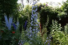 Stately Delphiniums by thegardencottagebnb, via Flickr