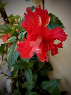 Our hibiscus by Vyamester on DeviantArt Hibiscus, Deviantart, Facebook, Plants, Instagram, Plant, Planets