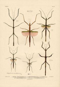Antique Insect Print-PHASMATODEA-Temminck-1839 on eBay