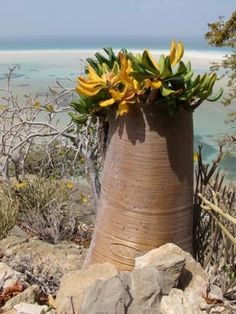 Flora on Socotra