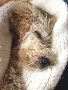 Goldie asleep after a big day. -Roxanne Slimak