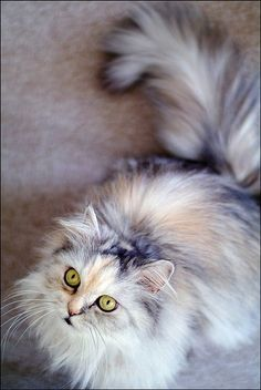 Are you looking to find Maine Coon Kittens for sale? We have some tips and advice to help you find these cats for sale from a trusted breeder in your area Pretty Cats, Beautiful Cats, Animals Beautiful, Cute Animals, Pretty Kitty, Simply Beautiful, Animals Images, Wild Animals, Funny Animals
