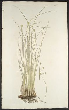 Florae Austriacae, sive, Plantarum selectarum in Austriae archiducatu. Viennæ Austriæ :Leopoldi Joannis Kaliwoda,1773-78.. biodiversitylibrary.org/page/278866