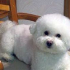 Bichon Frise puppies in Minnesota experienced breeders of Bichon Frise,ShihTzu Puppies, Shichons,Teddy Bears and Shih Tzu Puppies Bichon Dog, Shih Tzu Puppy, Cute Dogs And Puppies, I Love Dogs, Adorable Puppies, Doggies, Frise Art, Puppy Pictures, Dog Cat