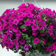 Petunia Easy Wave Violet F1