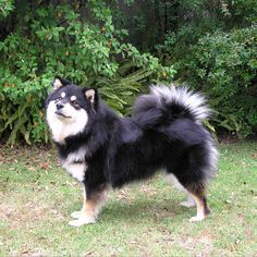 Tri-color Finnish Lapphund.