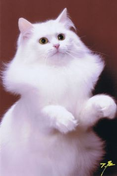 Almaz Siberians サイベリアン 猫