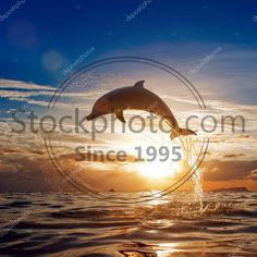 beautiful dolphin jumping from shining water Royalty Free Photos, High Quality Images, Dolphins, Celestial, Stock Photos, Water, Illustration, Outdoor, Beautiful