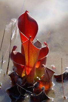 Sun pitcher plant