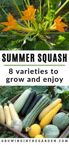 56 Best How To Grow Squash Images Growing Vegetables Gardening