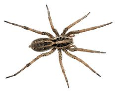 Wolf Spider Facts – Identifying and Controlling These Arachnids - Pest Wiki Brown Recluse Spider, Types Of Spiders, Wolf Spider, Insect Species, Spider Tattoo, Insect Photography, Ticks, Pest Control, Istanbul