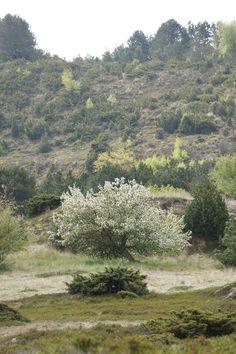 Flowering wild apple tree.
