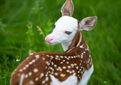 "Rare White-faced Fawn in Michigan Named ""Dragon"""