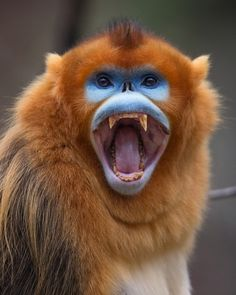Golden monkey, China by Mogens Trolle - Photo 194254655 / 500px