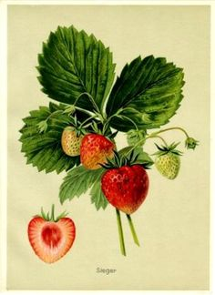 Botanical print of the strawberry