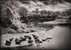 Hippos on the Mara River, Maasai Mara 2002 by Nick Brandt
