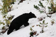 Bear #canada #alberta #britishcolumbia #icefieldsparkway