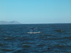 Hermanus - Best Land based whale wathing in the world Whales, Mountains, World, Nature, Animals, Naturaleza, Animales, Animaux, Whale
