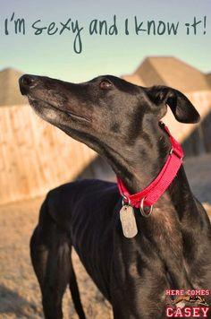 Sexy greyhound