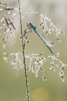 Common Blue Damselfly, Enallagma cyathigerum in Hay Meadow - Clattinger farm, Wiltshire Dragonfly Photos, Dragonfly Wall Art, Macro Photography, Animal Photography, Amazing Photography, Magnificent Beasts, Gossamer Wings, Beautiful Bugs, Monarch Butterfly