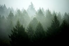 Pine Tree Layers by Sekkle, via Flickr #nature #photography #pines #trees #forest #mist #fog