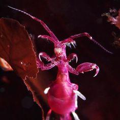 Skeleton shrimp Caprella septentrionalisSea slug (Nudibranchia) Coryphella verrucosa
