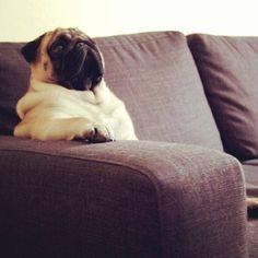 I love it when pugs sit like humans! (pugsofinstagram)
