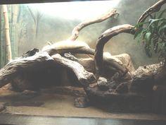 ハワイの白蛇さん(フリー)