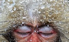 Choose Your Magic Travel: Snow Monkeys Jigokudani Park, Japain