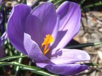 Best Bulbs for Naturalizing | The Old Farmer's Almanac