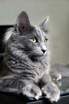 Handsome Grey Maine Coon