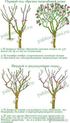 Обрезка роз. часть 7. Штамбовые розы.: Группа Цветы и флористика