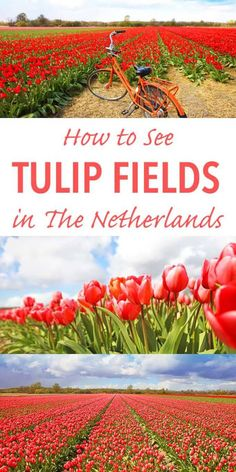 How to see tulip fields in the Netherlands
