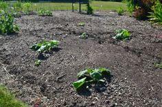 Fertilizing Begins! Pumpkins are heavy feeders.