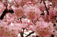 japanese cherry blossom artwork